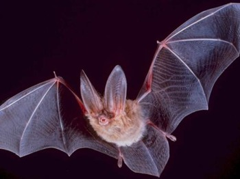 Bat Walk picture