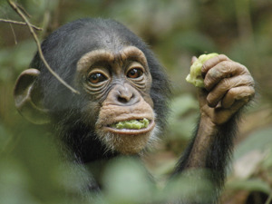 Film promo picture: Chimpanzee